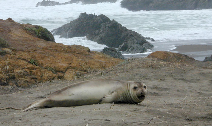 Female Elephant Seal With Young Pup