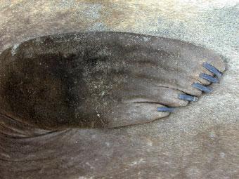 New Zealand fur seal photo - Arctocephalus forsteri - G40887 | ARKive