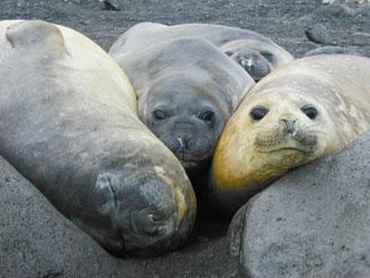 Female Northern Elephant Seal