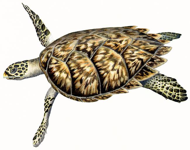 Olive Ridley Sea Turtle Diagram