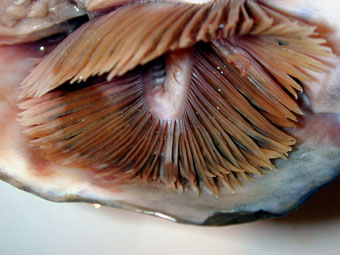 Nekton Fish Salmon: Species Divers...