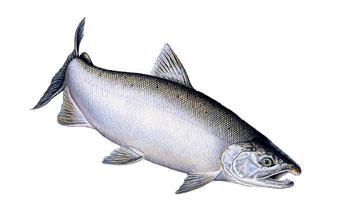 Salmon: Species Divers...